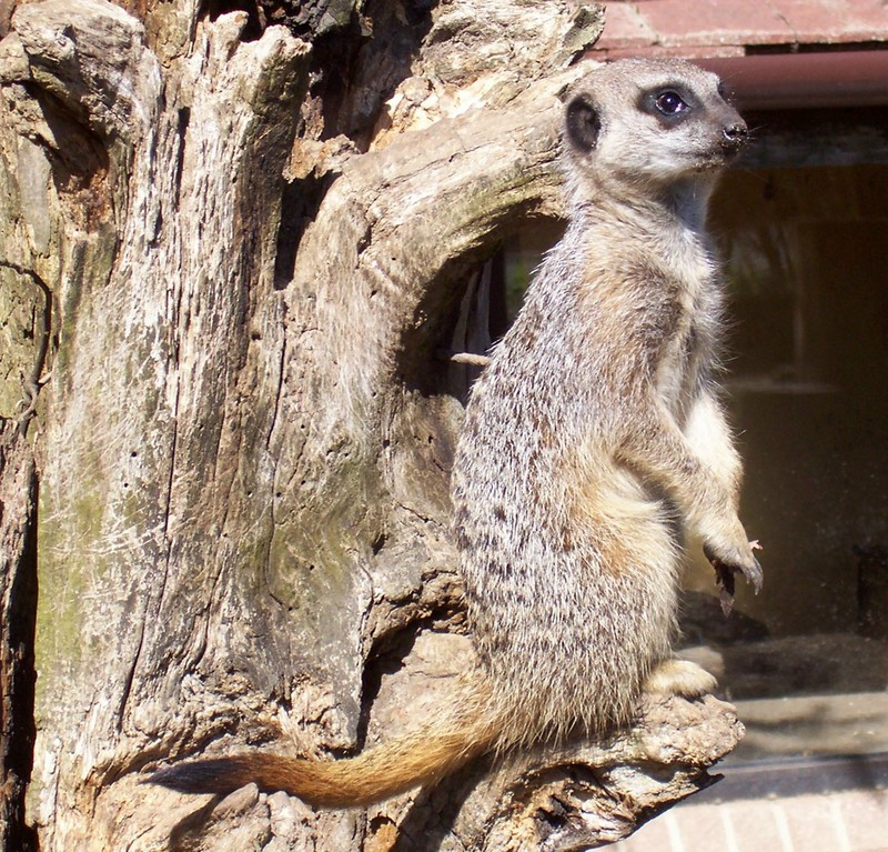A very cute meerkat; DISPLAY FULL IMAGE.