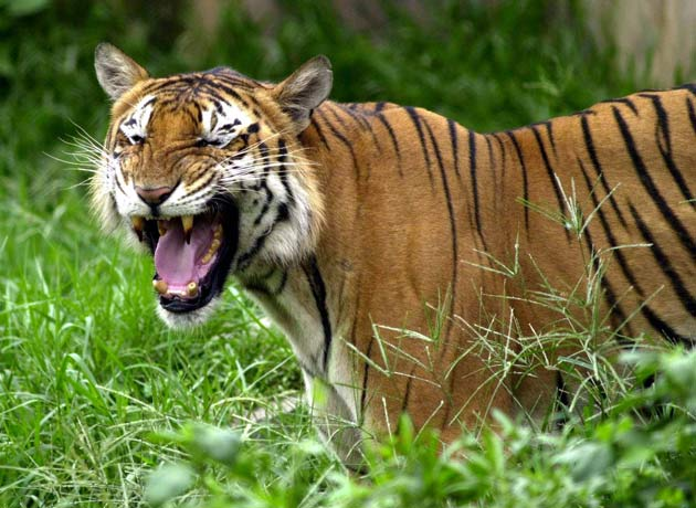 Venture Capitalists Pledge $10 Million to Save Tigers [LiveScience 2006-07-07]; Image ONLY
