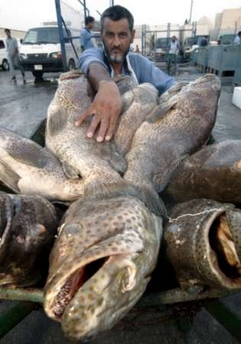 Groupers, UAE [REUTERS 2006-07-08]; Image ONLY