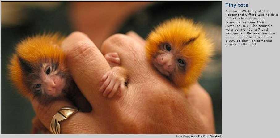 Baby Golden Lion Tamarins  Image ONLYGolden Lion Tamarin Babies