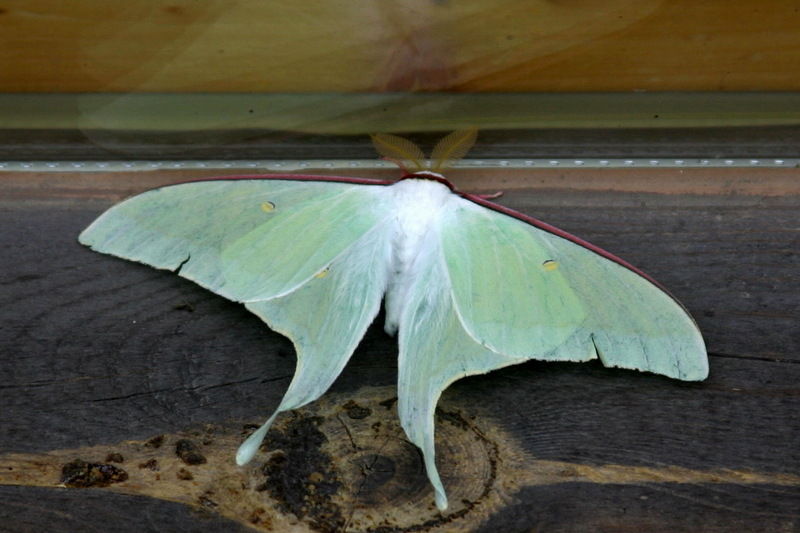 Actias gnoma (long-tailed greenish silk moth) <!--옥색긴꼬리산누에나방-->; DISPLAY FULL IMAGE.