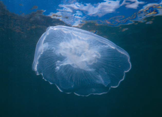 Fewer Fish Leads to Jellyfish Explosion [LiveScience 2006-07-10]; Image ONLY