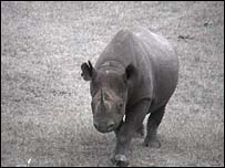 Extinction fear for black rhino [BBC 2006-07-10]; Image ONLY