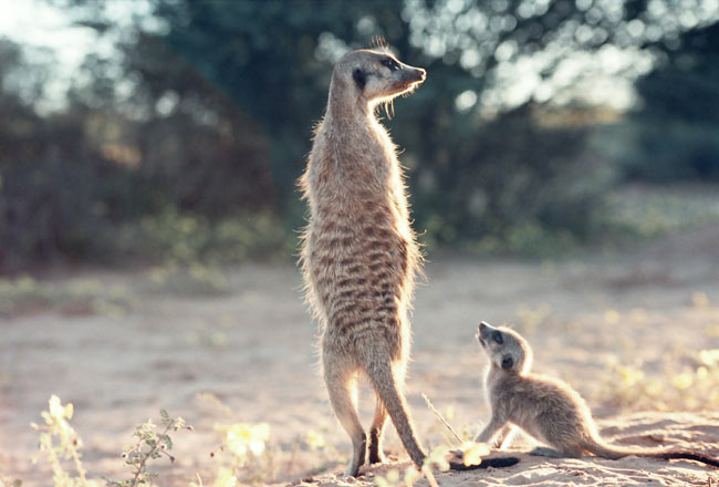 Hunting 101: Meerkats Teach Scorpion Dismemberment [LiveScience 2006-07-13]; Image ONLY