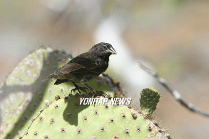 Medium Ground-finch (Geospiza fortis), Galpagos [AP 2006-07-14]; Image ONLY