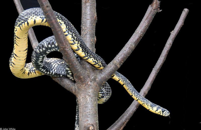 Snake with Attitude - Tiger Rat Snake (Spilotes pullatus)301