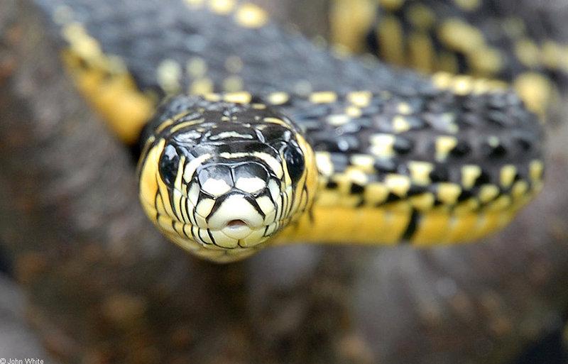 Snake with Attitude - Tiger Rat Snake (Spilotes pullatus)302