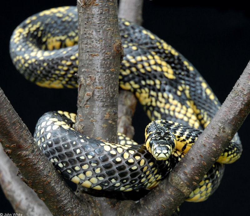 Snake with Attitude - Tiger Rat Snake (Spilotes pullatus)306; DISPLAY FULL IMAGE.