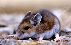 Increased Risk Of Hantavirus Forecast For U.S. Southwest [ScienceDaily 2006-07-14]; Image ONLY