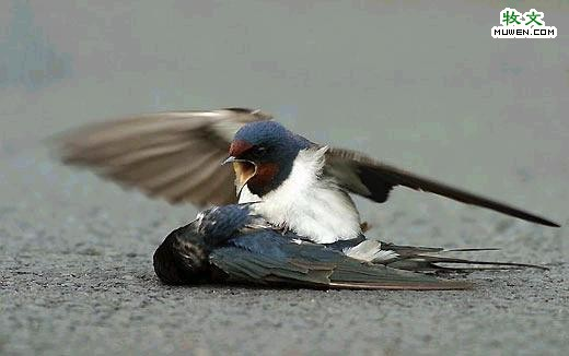 A bird's anguish & effort to revive another dying bird - 7; Image ONLY