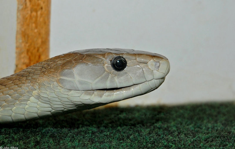 Some Snakes - Black Mamba (Dendroaspis polylepis); DISPLAY FULL IMAGE.