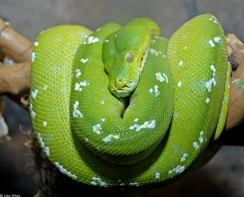 Some Snakes - Emerald Tree Boa (Corallus canina)35646; DISPLAY FULL IMAGE.