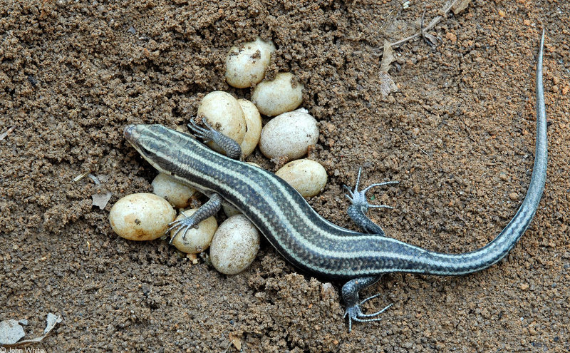 Expectant Mother - Five-lined Skink (Eumeces fasciatus) guarding eggs; DISPLAY FULL IMAGE.