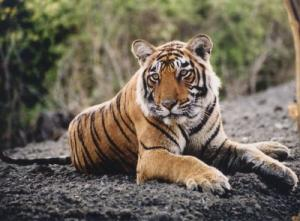 Tiger Habitat Down From Just A Decade Ago [ScienceDaily 2006-07-20]; Image ONLY