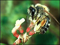 Bees and flowers decline in step [BBC 2006-07-20]; Image ONLY