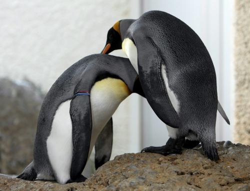 King Penguins; Image ONLY