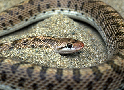 Snakes of the World - California Glossy Snake [LiveScience 2006-07-21]; Image ONLY