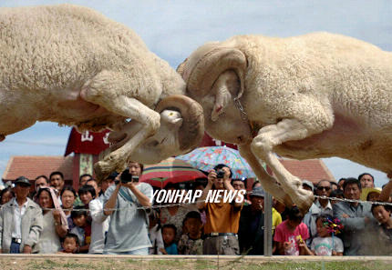 Sheep Fighting, China [AP 2006-07-23]; Image ONLY