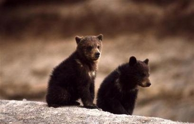 Grizzly Bears, USA [REUTERS 2006-07-25]; Image ONLY