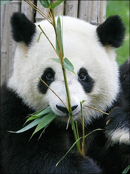 Giant Panda, China [AFP 2006-07-24]; Image ONLY