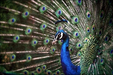 Peacock Display, Bulgaria [AFP 2006-07-27]; Image ONLY