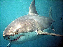 Experts split on UK Great Whites [BBC 2006-07-28]; Image ONLY
