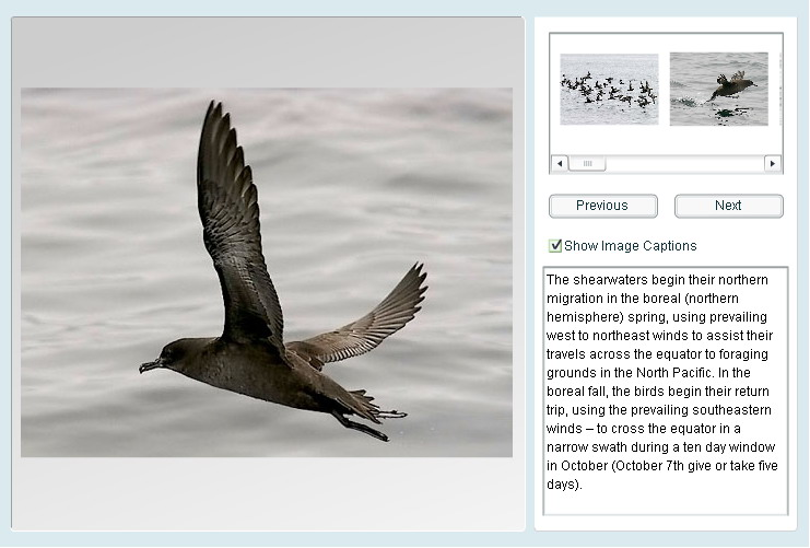 Sooty Shearwaters in the California Current [TOPP 2006-08-07]; Image ONLY