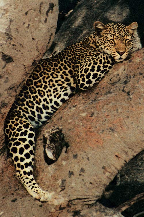 How a Leopard Changes its Spots [LiveScience 2006-08-08]; Image ONLY