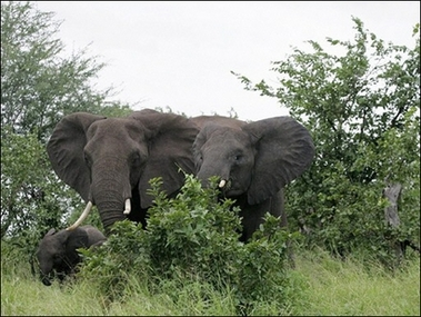 African Elephants, South Africa [AFP 2006-08-08]; Image ONLY