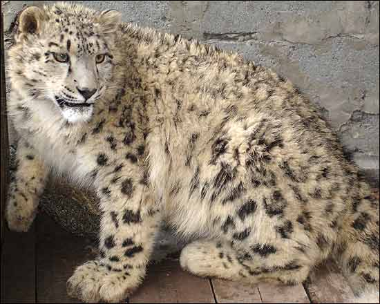 Leo the snow leopard is US-bound [BBC 2006-08-09]; Image ONLY
