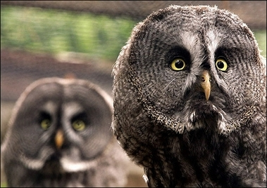 Great Grey Owl, Germany [AFP 2006-08-09]; Image ONLY