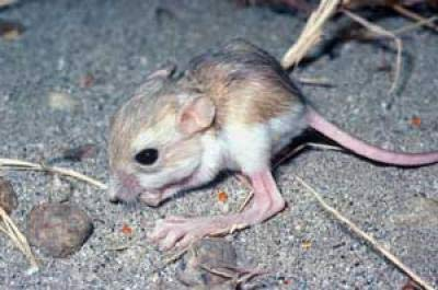 Desert Thieves are Real Rats [LiveScience 2006-08-11]; Image ONLY