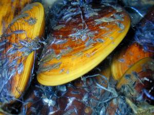 Study Reveals Details Of Mussels' Tenacious Bonds [ScienceDaily 2006-08-16]; Image ONLY