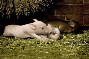 Domestic Pig-Babirusa Mix piglets, Denmark [REUTERS 2006-08-19]; Image ONLY