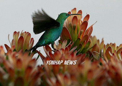Malachite Sunbird (Nectarinia famosa), South Africa [YNA 2006-08-21]; Image ONLY