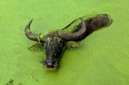 Asiatic Water Buffalo, China [REUTERS 2006-08-22]; Image ONLY