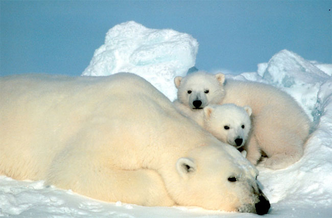 Study: Polar Bear Genitals are Shrinking [LiveScience 2006-08-23]; Image ONLY