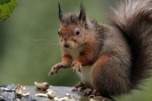 Virus Has 'Catastrophic' Affect On Red Squirrels, Research Shows [ScienceDaily 2006-08-22]; Image ONLY