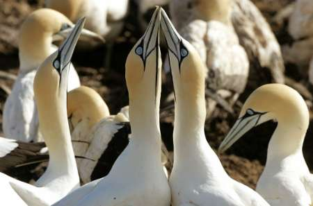 Cape Gannets (Morus capensis), South Africa [REUTERS 2006-08-25]; Image ONLY