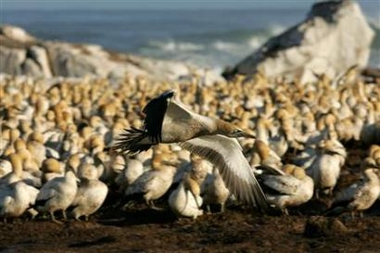 Cape Gannets, South Africa [REUTERS 2006-08-28]; Image ONLY