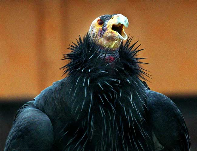Bullet Fragments Killing Condors [LiveScience 2006-08-31]; Image ONLY
