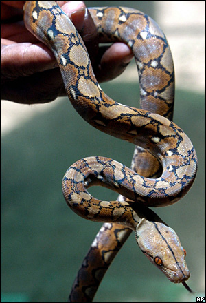 Baby Reticulated Python, India [BBC 2006-09-01]; Image ONLY