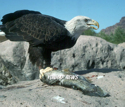 Sonoran Desert Bald Eagle, USA [AP 2006-09-01]; Image ONLY
