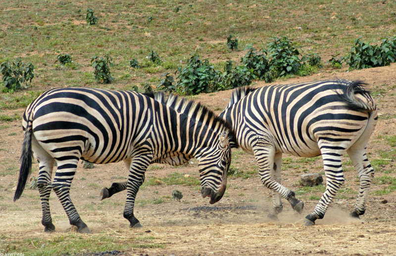 Play Fighting Burchell's Zebra (Equus burchellii) - Burchell's Zebra (Equus burchellii) fight 10; DISPLAY FULL IMAGE.