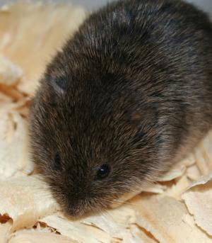 Rodent's Bizarre Traits Deepen Mystery Of Genetics, Evolution [ScienceDaily 2006-09-16]; Image ONLY