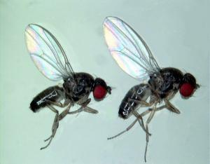 Fruit Fly Aggression Studies Have Relevance To Humans, Animals [ScienceDaily 2006-09-23]; Image ONLY