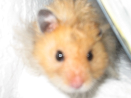 Teddy Bear Hamster; Image ONLY