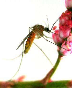 Mosquitoes' Sweet Tooth Could Be Answer To Eliminating Malaria [ScienceDaily 2006-09-25]; Image ONLY