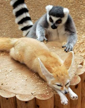 Ringtail Lemur and Fennec Fox, Japan [REUTERS 2006-10-01]; Image ONLY