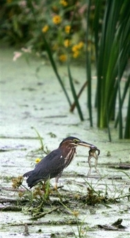Green Heron, USA [AP 2006-10-02]; Image ONLY